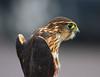 Red-tailed Hawk, juvenile; Hawk's Ridge, Duluth, Mn.  - #0008