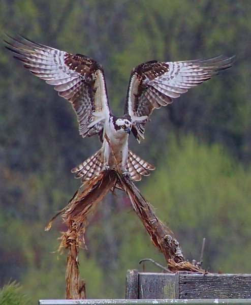Osprey in Roseville, Mn. building spring nest, #0689