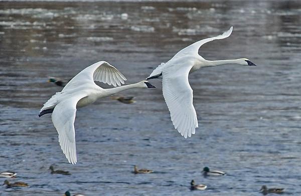 Swans in Flight; #1730