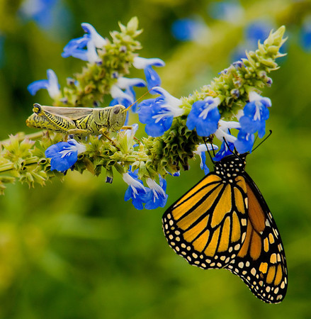 Monarch Butterfly and Grasshopper, #0747