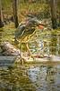 Green Heron, #2011