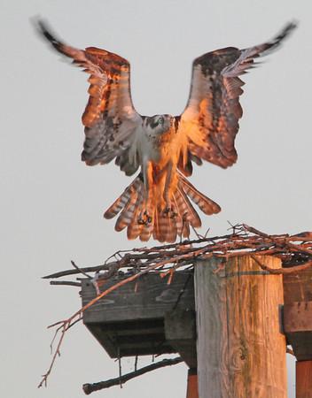 Female Osprey, St. Paul, Minnesota  - #0013