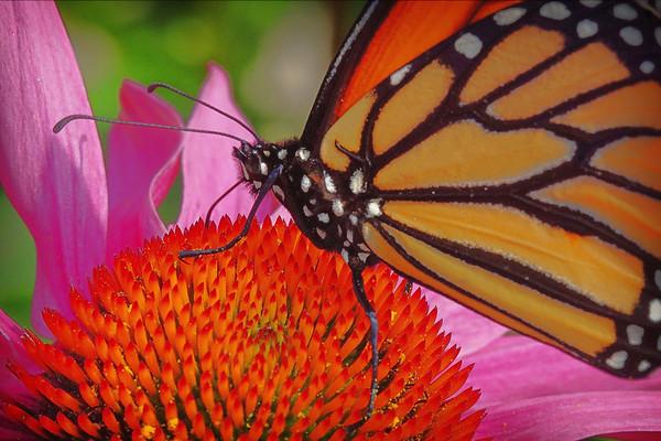 Monarch, #1050