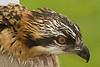 Baby Osprey, St. Paul, Minnesota  - #0015