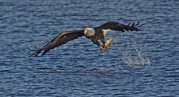 Bald Eagle in Minnesota, #0625