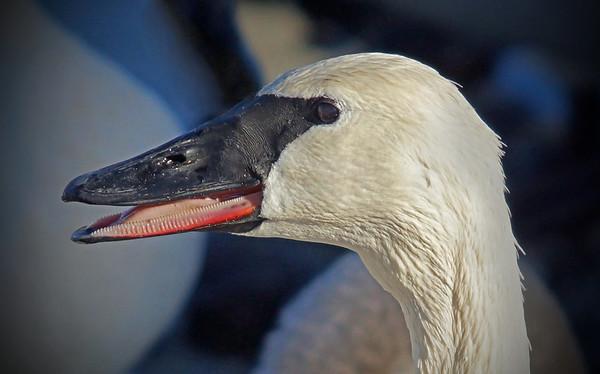 Trumpeter swans, #0592