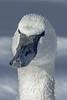 Trumpter Swan, #1842