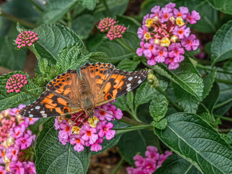 """A painted lady butterfly searches for treats at Linnaeus Arboretum at Gustavus Adophus College in Saint Peter, Minnesota. Explore more at <a href=""""https://explorationvacation.net/2020/08/linnaeus-arboretum-saint-peter-minnesota/"""">https://explorationvacation.net/2020/08/linnaeus-arboretum-saint-peter-minnesota/</a>"""
