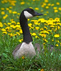 Mother goose in the flowers, Shoreview, Mn #0699