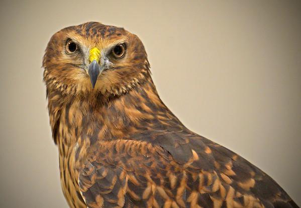 Harrier Hawk, Minnesota, #0616
