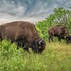 Grazing bison, Minneopa State Park