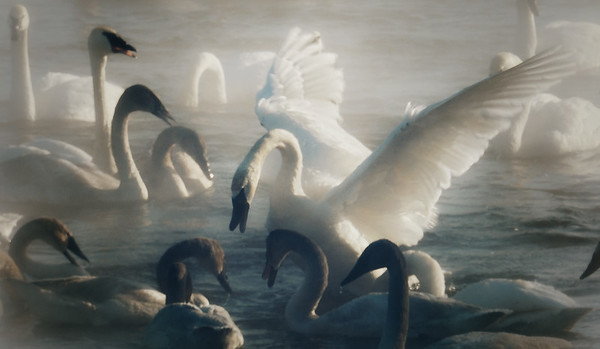 Misty bevy of Swans; #1718