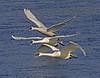 Trumpeting Swans; #1082