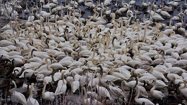 Trumpeter swans, #0646