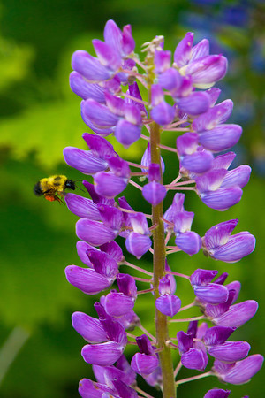 Lupin flowers with bumble bee near Lutsen, Minnesota, #0709