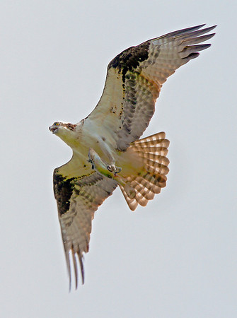Male osprey in Shoreview, Mn. with fish,  #0694