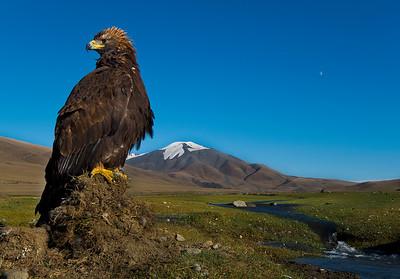 Golden Eagle, Alti Mountains, Mongolia, 2015.