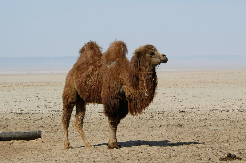 Mongolian one humped camel after having a fill of water given by us by pulling water out of a well in our road trip through the Gobi Desert, Mongolia.