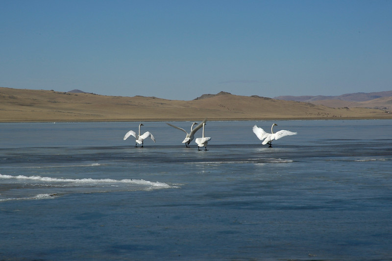 Birds on the lake. Central Monglia.