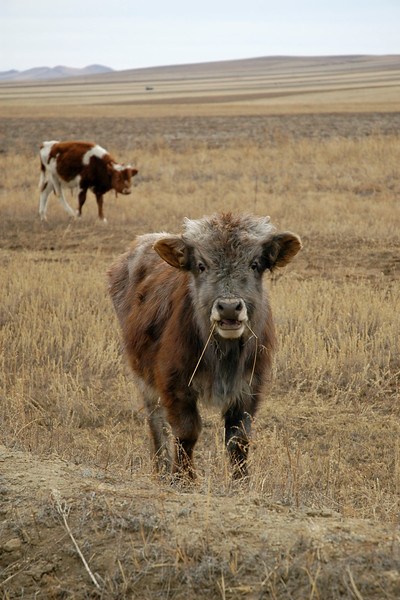 On the way into UB, Mongolia we could see a number of cattle lazily graze in the fields.