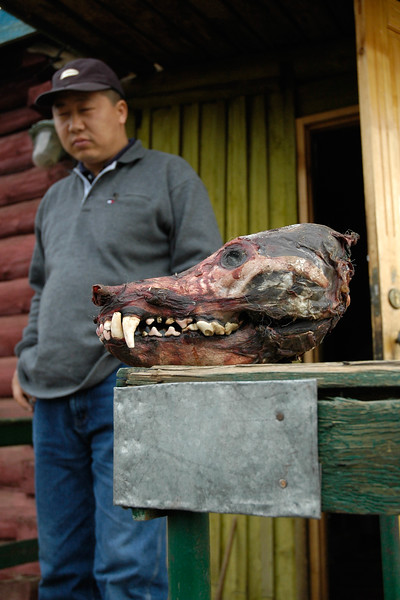 A skinned wolf head put at the front porch of the horse to ward off evil. In Mongolia it is believed that if you are spiritual, then only you get to see a wolf in the wild. But if you kill a wolf, you are higher than it.<br /> <br /> Dr. Amarsaikhan seen at the back. Gobi desert. Mongolia.