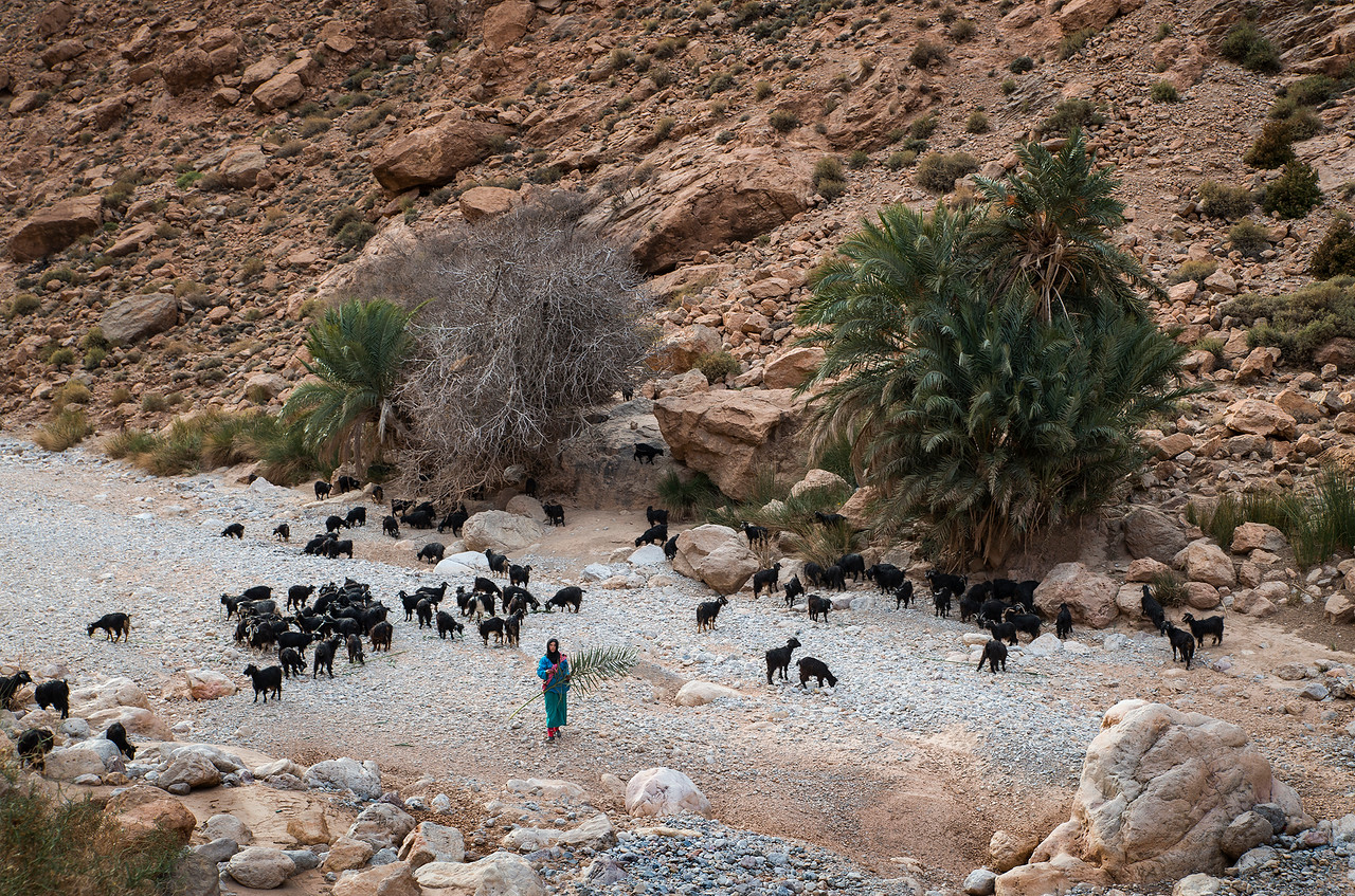 A young Berber, nomad woman tending her goats.<br /> <br /> The Todra Gorge, Morocco, 2018.