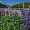 Beautiful to behold, but highly invasive, non-native Russell lupins (Lupinus polyphyllus) fill a river valley in New Zealand with acres of purple and pink blossoms