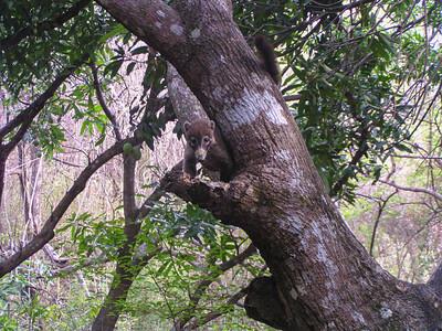 White-nosed Coati (Nasua narica)