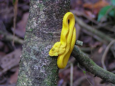 Yellow Eyelash Viper (Bothriechis schlegelii)