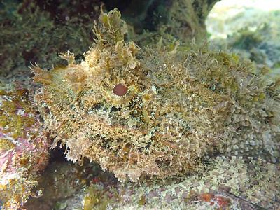 Plumed Scorpionfish (Scorpaena grandicornis)