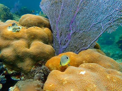 Foureye Butterfly Fish (Chaetodon capistratus)