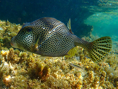 Spotted Trunkfish (Lactophrys bicaudalis)