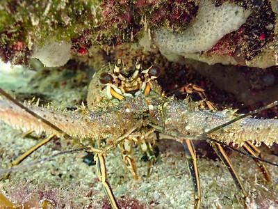 Caribbean Spiny Lobster (Panularis argus)