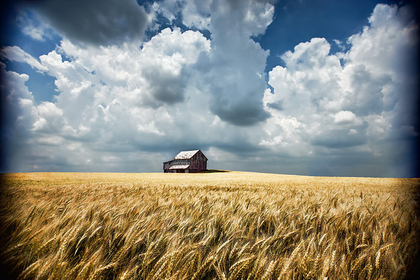 Barn in Golden Wheat