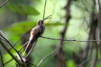Long-billed Hermit (Phaethornis longirostris)