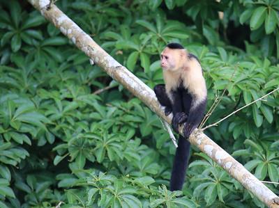White-headed Capuchin (Cebus capucinus)