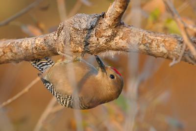 Gila Woodpecker (Melanerpes uropygialis)
