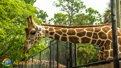 Giraffe looking for the next giver.