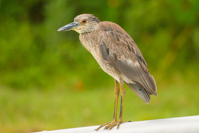 Yellow-crowned Night Heron - Juvenile(Nyctanassa violacea)