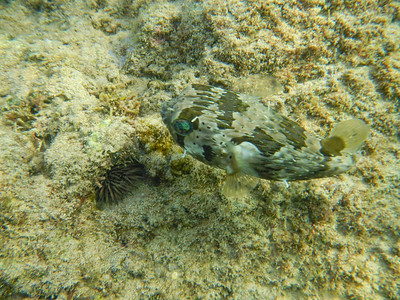 Long-Spined Porcupinefish (Diodon holocanthus)