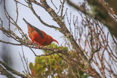 ʻiʻiwi (Drepanis coccinea)