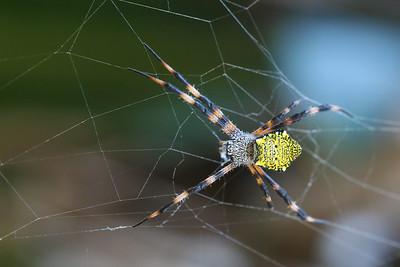 Hawaiian Garden Spider  (Argiope appensa)