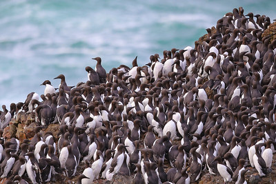 Common Murre (Uria aalge)