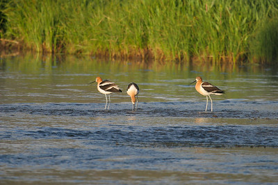 American Avocet (Recurvirostra americana)