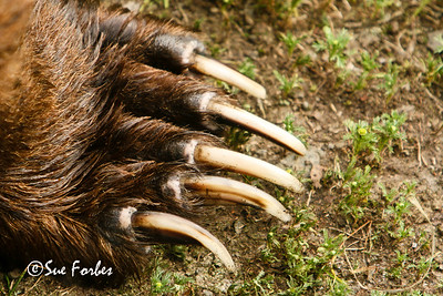 Grizzly Bear claws Close up of the Grizzly bears claws, Katmai Peninsula, Alaska