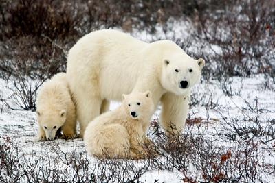 Mom & 2 cubs, Churchill, Canada