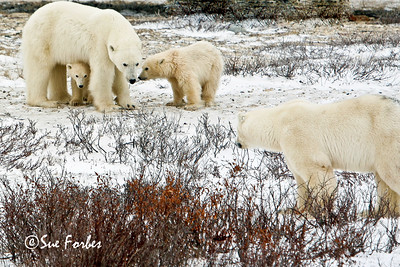 Polar bear protecting its young Mom protecting its cubs from an interested male, Churchill, Canada