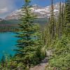 Pine along the trail above Lake O'Hara, Canada