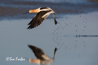 American Avocet at Palo Alto Baylands, California