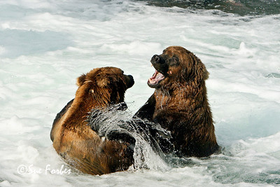 Its MY fishing spot! Grizzly bears fighting for key fishing positions in the Brooks River, Katmai, Alaska